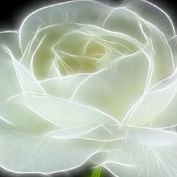 White roses. Ice roses. Roses fit for a queen. ~ The Selkie Enchantress.
