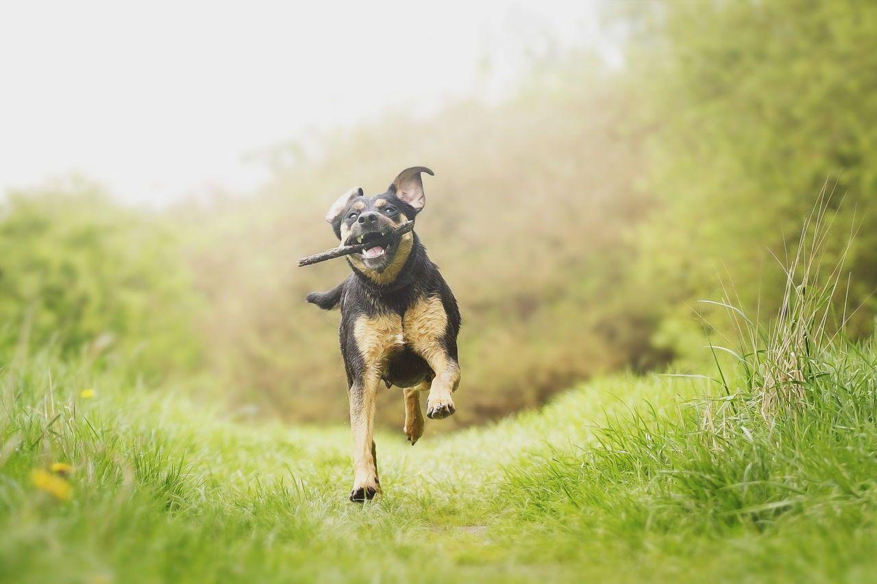 Fun Rottweiler Puppy Running Dogs Rottweiler Puppies Dog Breeds