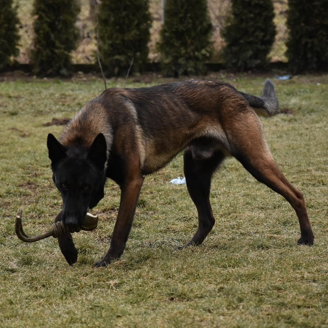 Belgian Malinois Belgianmalinois Once In Croatia Now In Usa Extreme Protection Malinois Belgian Malinois Malinois Kangal Dog
