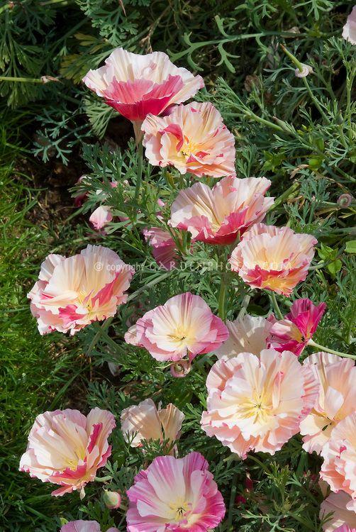 Eschscholzia Apple Blossom aka Appleblossom in pink