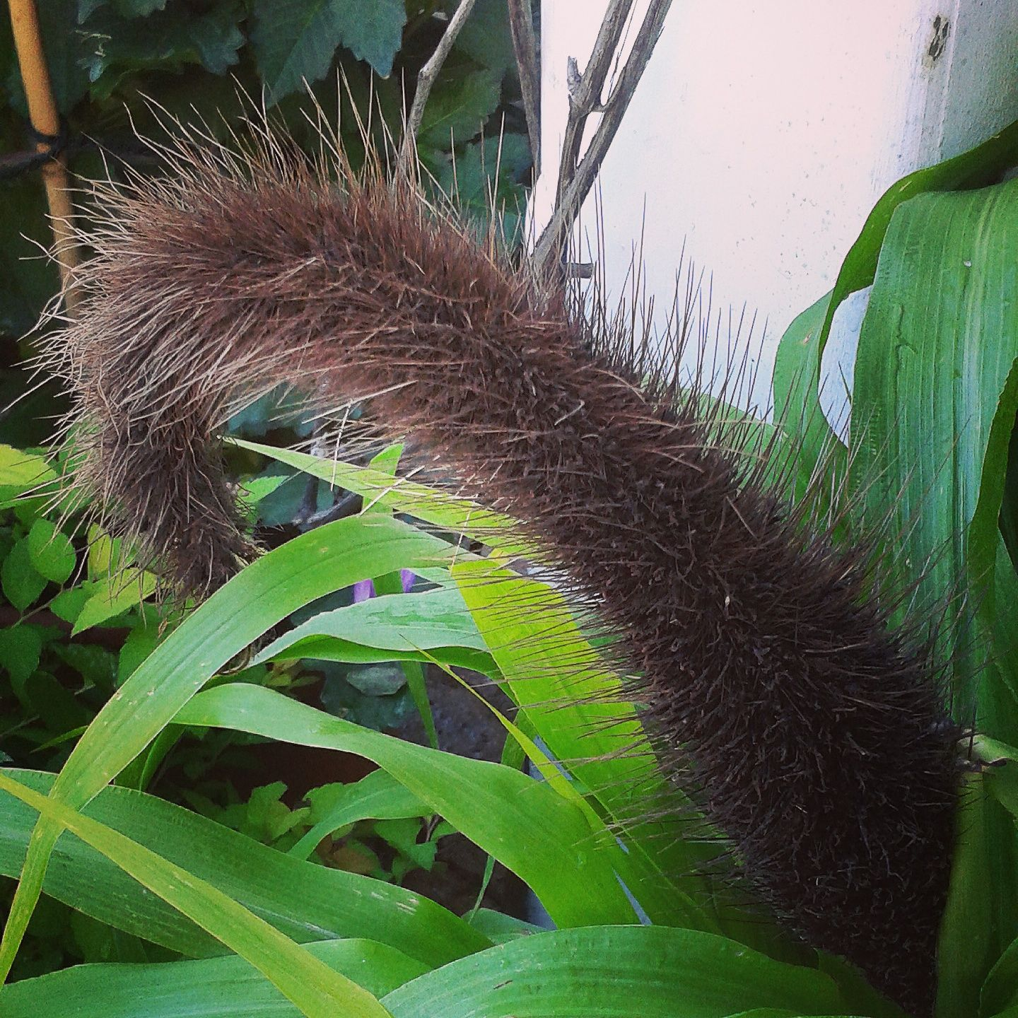 a plant that looks like a cats tail Flowers Pinterest