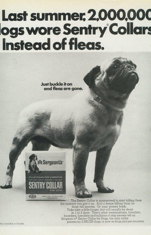 1960s Pug Pug Dog Dog Photos Pugs