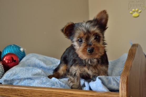 Penelope Is An Adorable Yorkshire Terrier Puppy Her Christmas