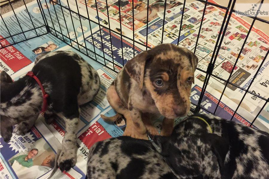 Catahoula Leopard Dog puppy for sale near Dallas / Fort