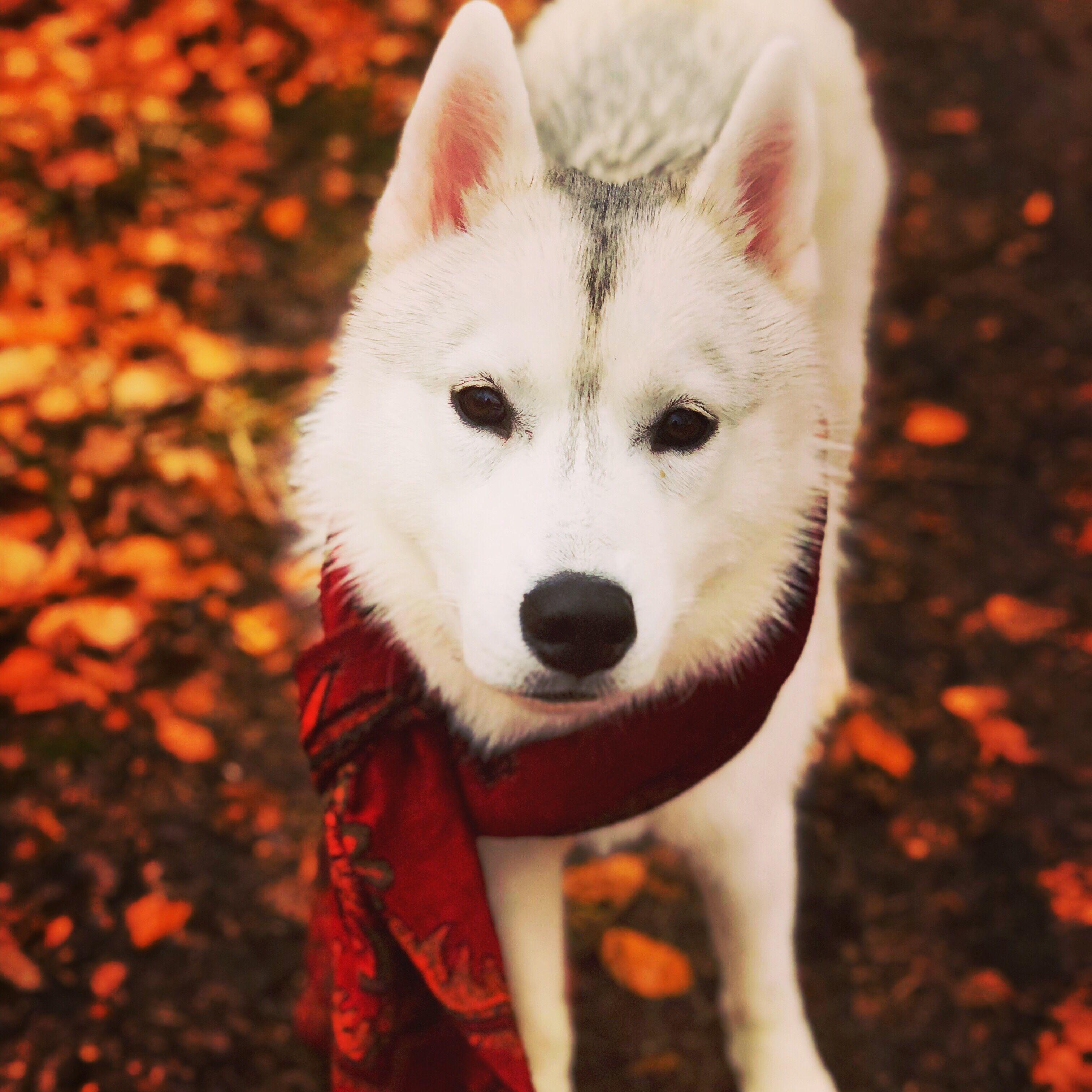 Wie Gewohne Ich Meinem Hund Das Ziehen Ab Undercover Labrador Hunde Ich Liebe Hunde Gesunde Hunde