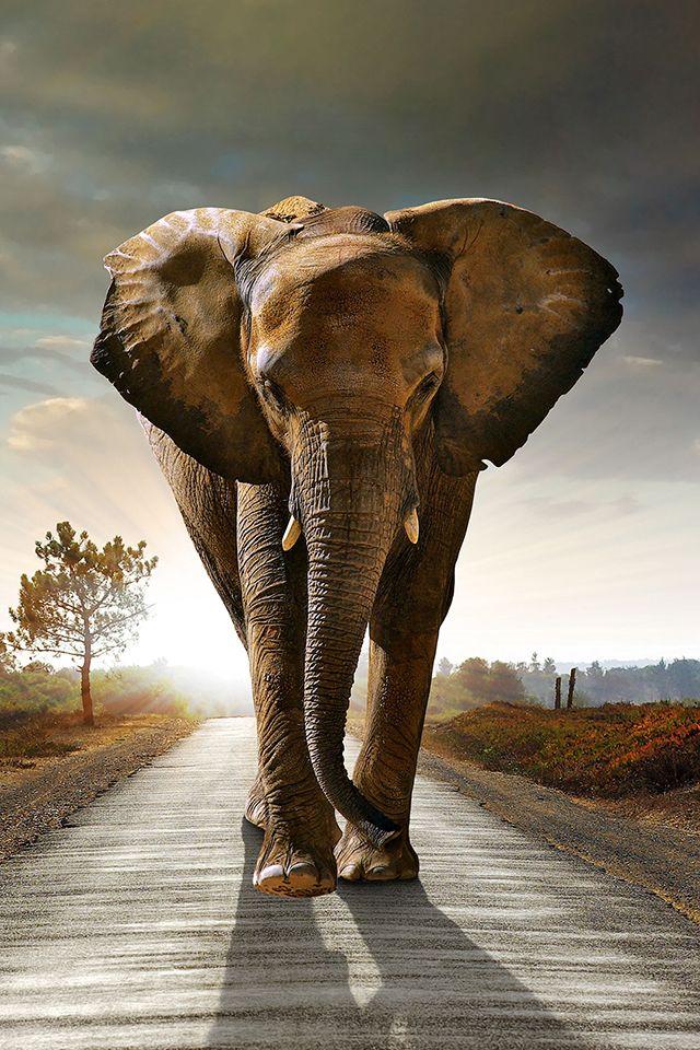 Elephant on Road Wallpaper Elephant background, Elephant
