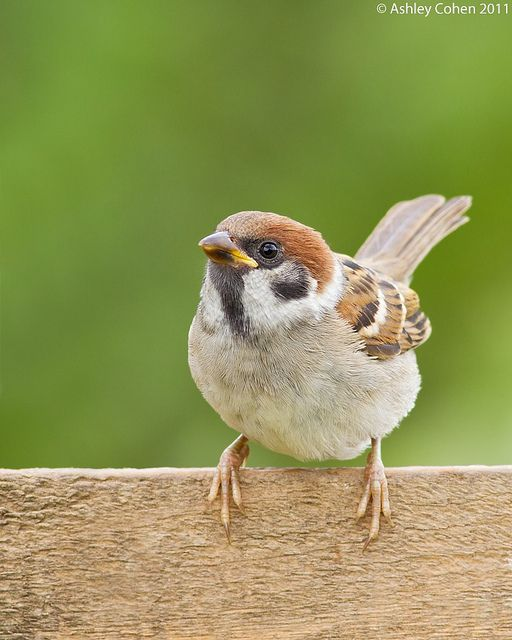 Best 25 Sparrows Ideas On Pinterest