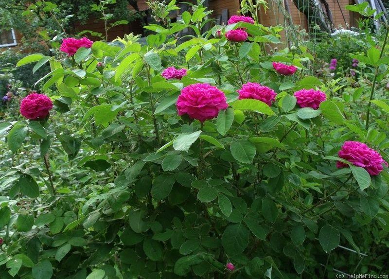 'Rose de Resht' Rose Photo Plants, Rose, Photo