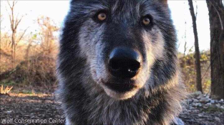 Wait for White Wolf http://ift.tt/2hSGxiD