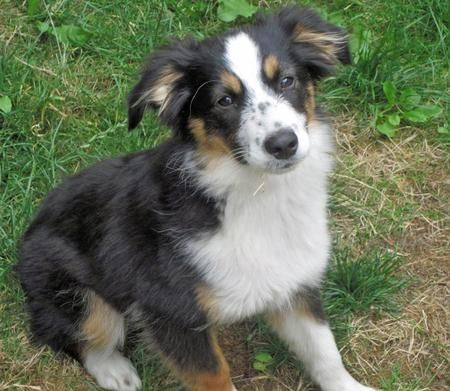 Lily The Australian Shepherd Australian Shepherd Dogs And Puppies Shepherd