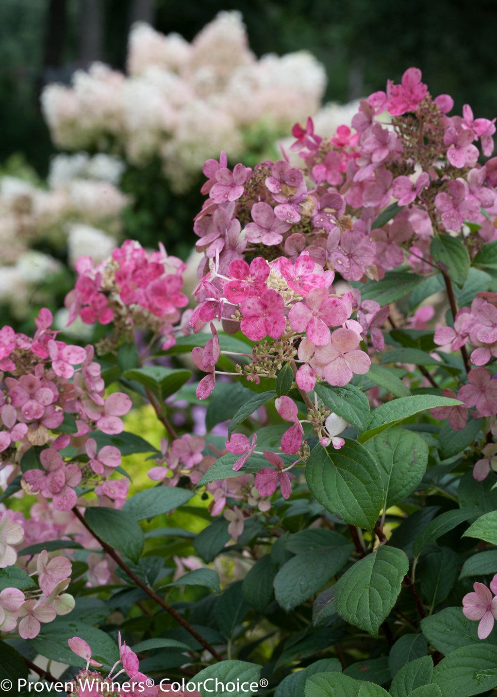 Little Quick Fire® Panicle Hydrangea Hydrangea
