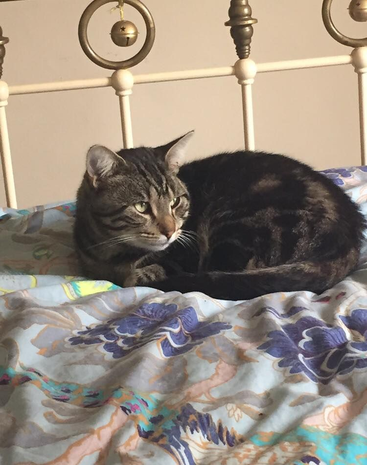 Milo Is A 2 Year Old Male Tabby With Medium Soft Fur Last Seen On Livingstone Street Norwich On Sunday Morning 15th May Found Cat Cat Uk Cats