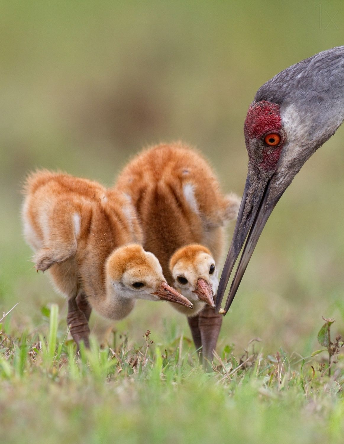 Sandhill Crane with Chicks by Alfred Forns