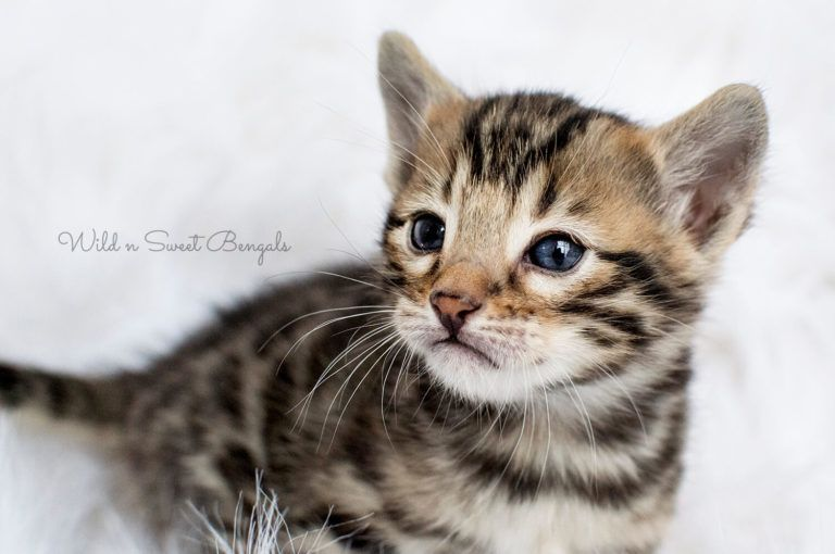 Bengal Kittens Cats For Sale Near Me Bengal Kitten Cats For