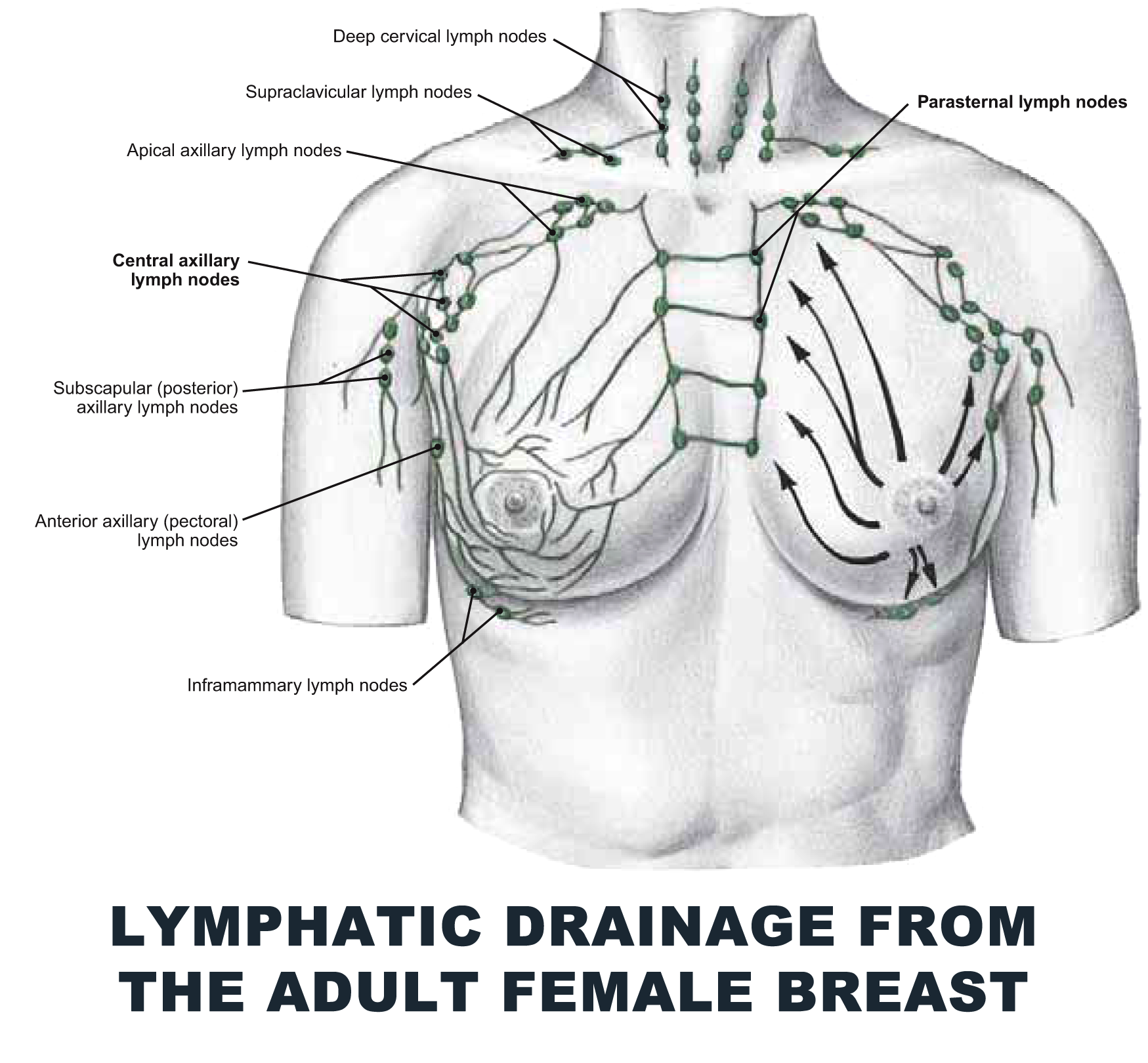 Lymphatic Drainage From The Adult Female Breast Anatomy Images