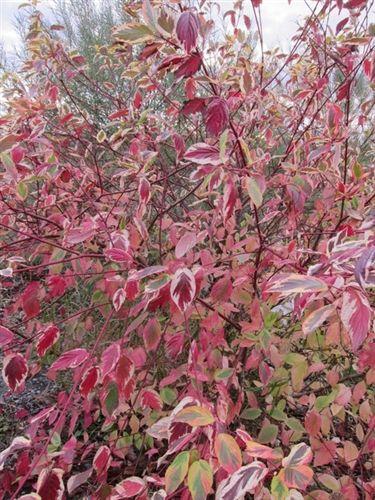 Cornus Sericea Hedgerows Gold Hedgerow Winter Garden Red Twig Dogwood