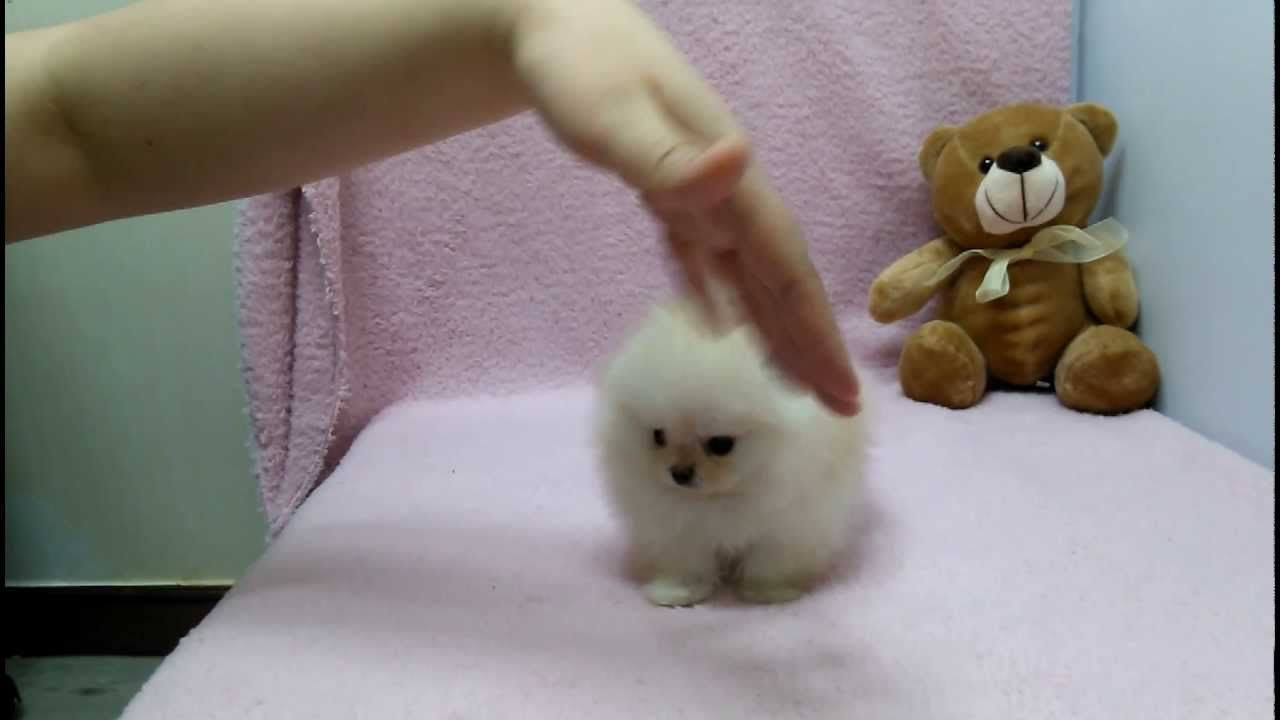 Micro Teacup Pomeranian Puppies For Sale Youtube Charming Teacup Pomeranian Puppies For Ado In 2020 Pomeranian Puppy Teacup Pomeranian Puppy For Sale White Pomeranian