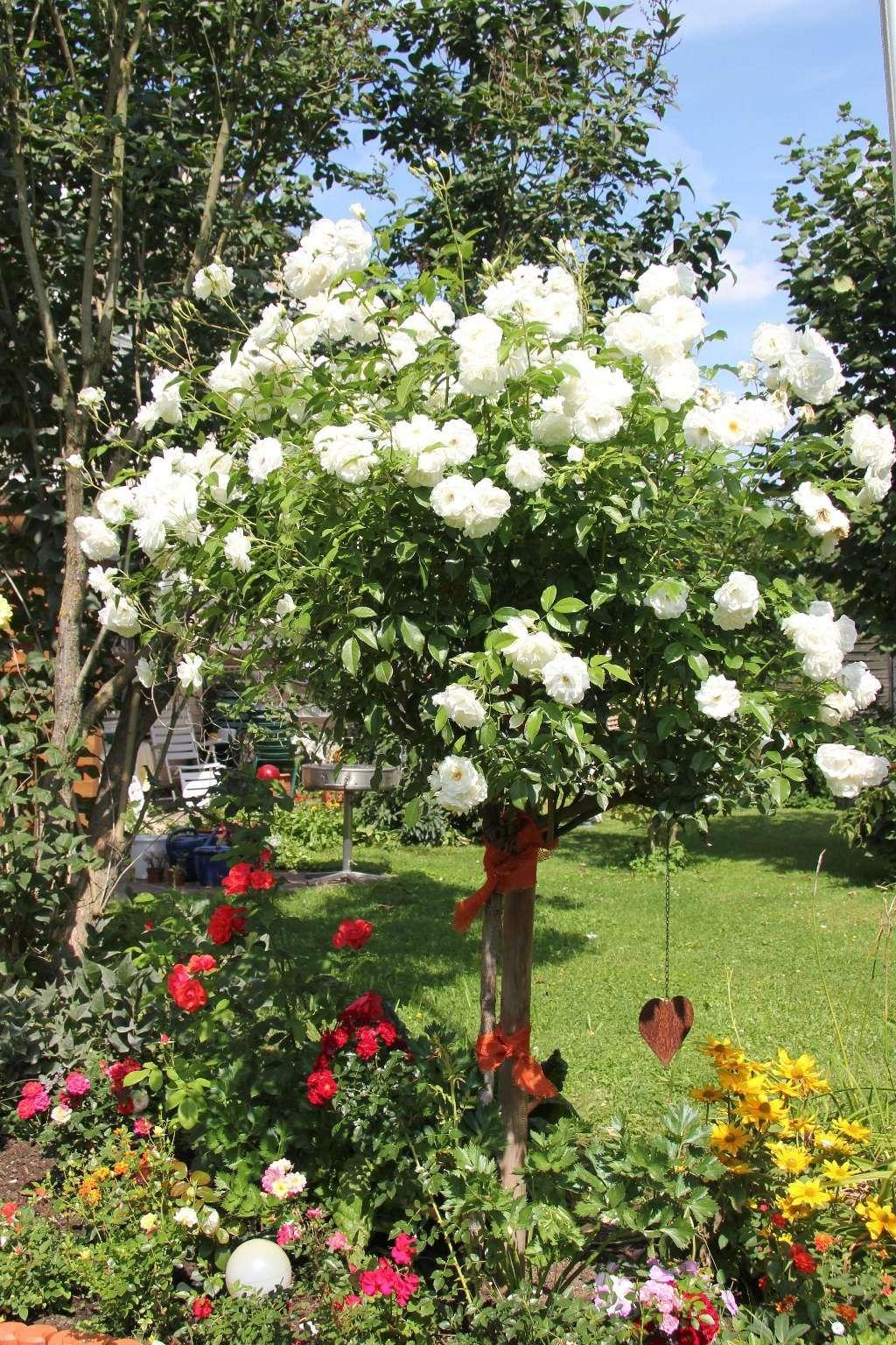 schneewittchen schneewittchen rose und pflanzen. Black Bedroom Furniture Sets. Home Design Ideas