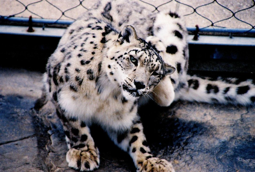 Snow Leopard Como Zoo Mn By Flavoredwaters On Deviantart Snow Leopard Como Zoo Zoo