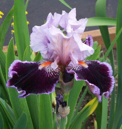 Pin Van Tina Shearman Gracefully Sout Op Just Purple Irissen Tuinplanten Bloemen