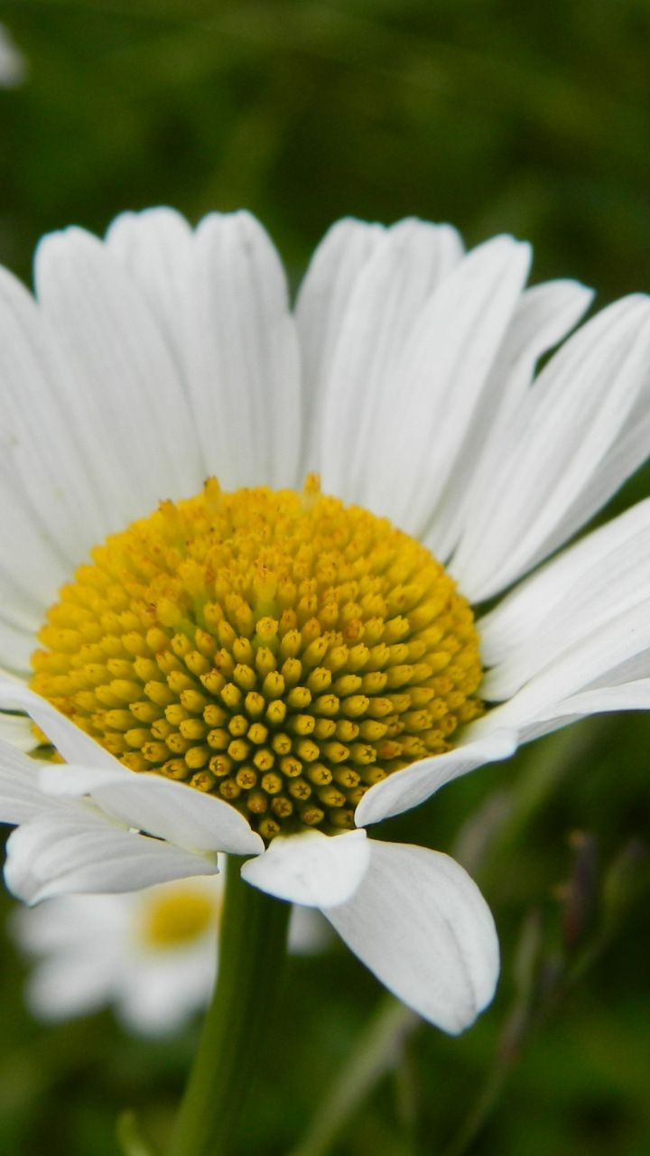 White daisy flower bloom 720x1280 wallpaper flowers wallpapers white daisy flower bloom 720x1280 wallpaper izmirmasajfo