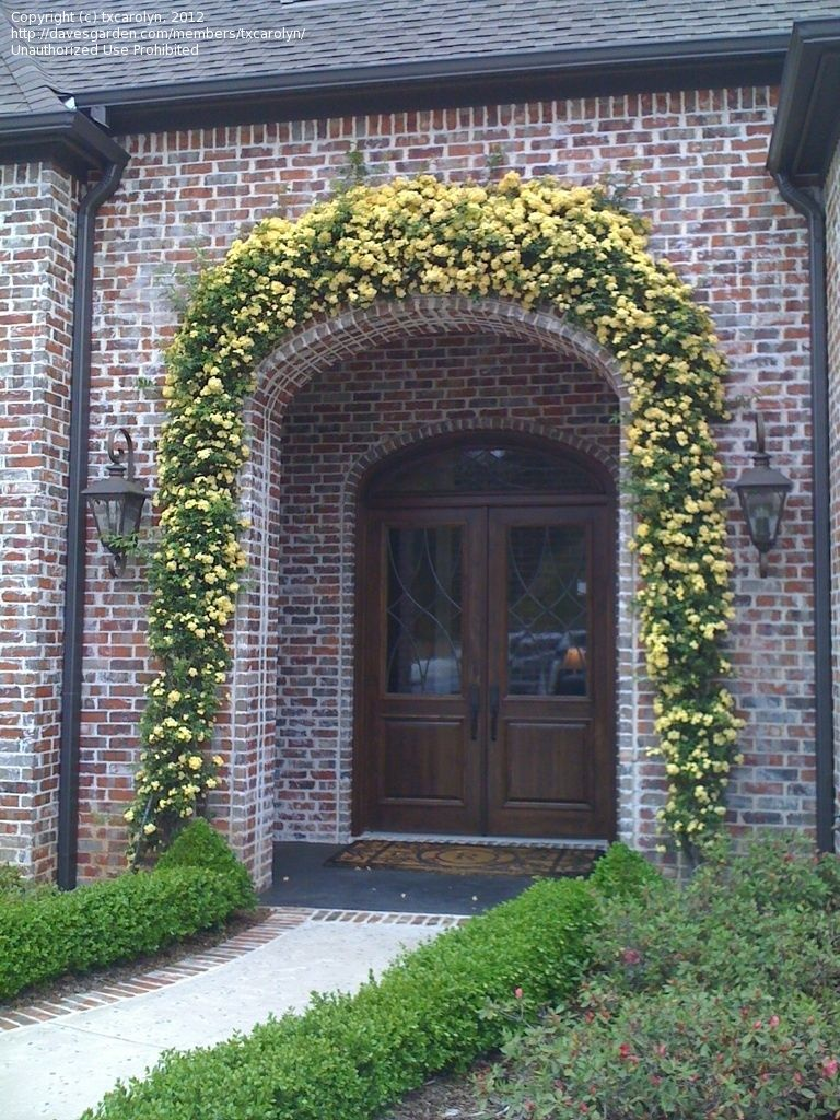 Two Lady Banks Rose Bushes Growing Over A Doorway I