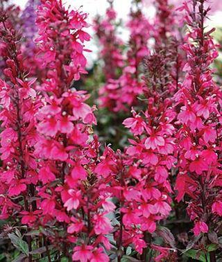 Lobelia Speciosa Starship Deep Rose Yard Garden Houseplants Iii