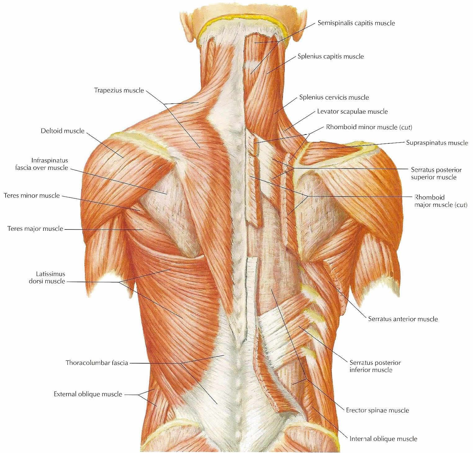 human body - back muscles words | drawing and human anatomy, Muscles