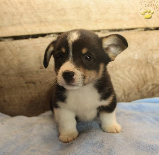 Finn Welsh Corgi Pembroke Puppy For Sale In Christiana Pa Lancaster Puppies Corgi Pembroke Welsh Corgi Puppies Lancaster Puppies