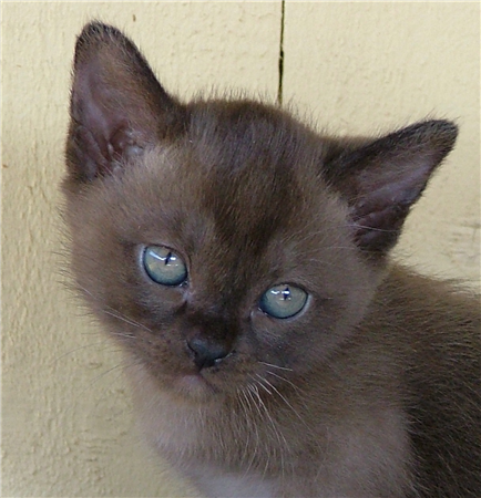 Burmese Kittens For Sale Caboolture Qld Pets For Sale Burmese Kittens Burmese Cats For Sale Burmese Cat