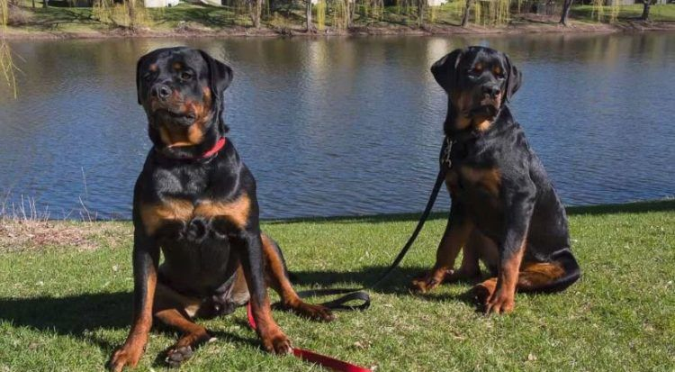7 Things You Didn T Know About The American Rottweiler