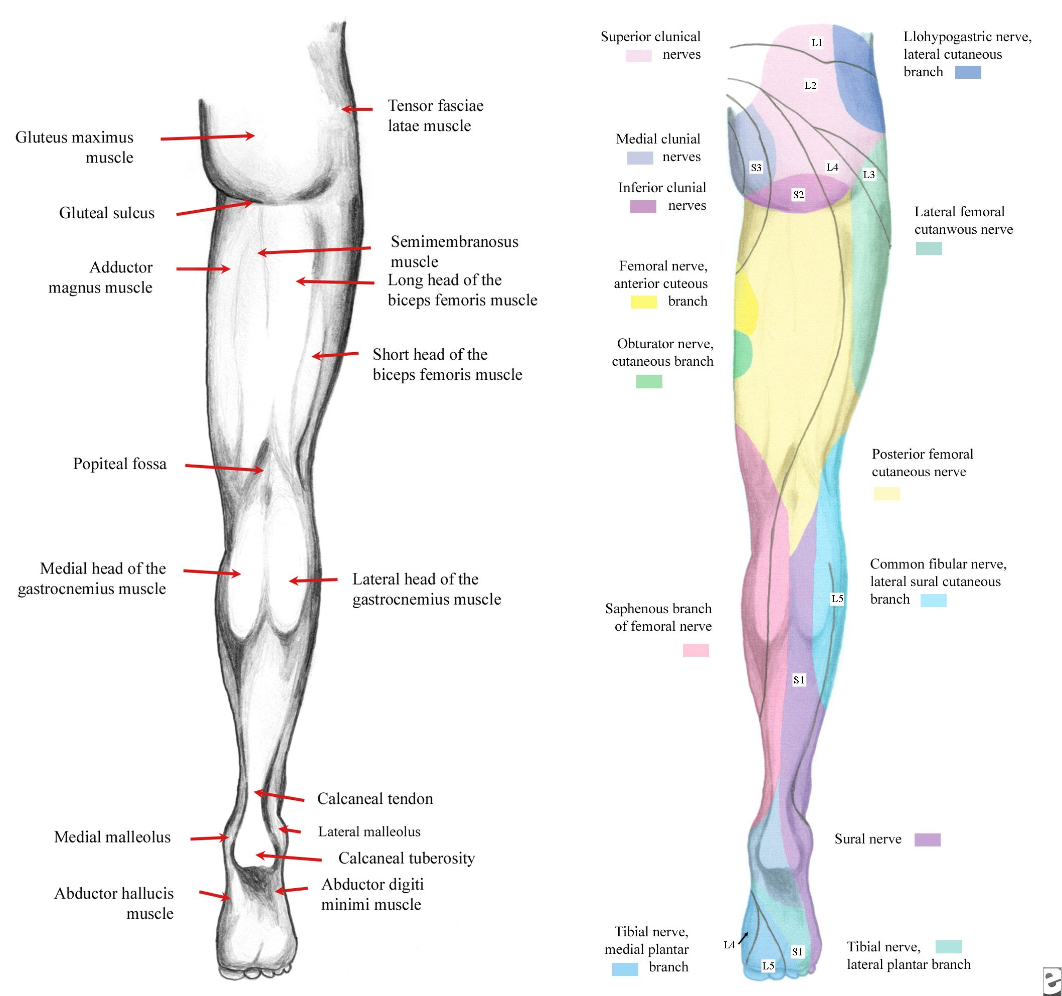 cauda equina and conus medullaris syndromes clinical presentation, Muscles
