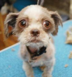 Adopt Stevie Harris On Shih Tzu Shih Tzu Dog Save Animals