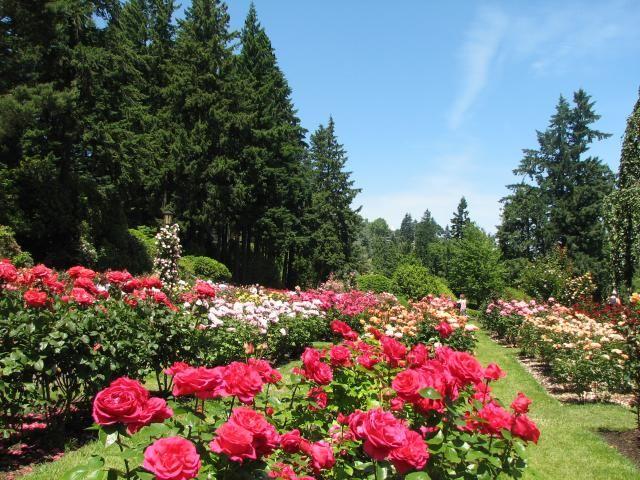International rose test garden oregon girl rose garden - International rose test garden portland ...