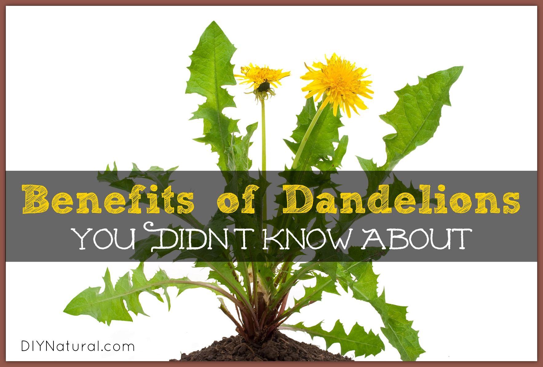 Dandelion Benefits Greens Roots And Dandelion Tea Dandelion Benefits Dandelion Tea Dandelion Tea Recipe