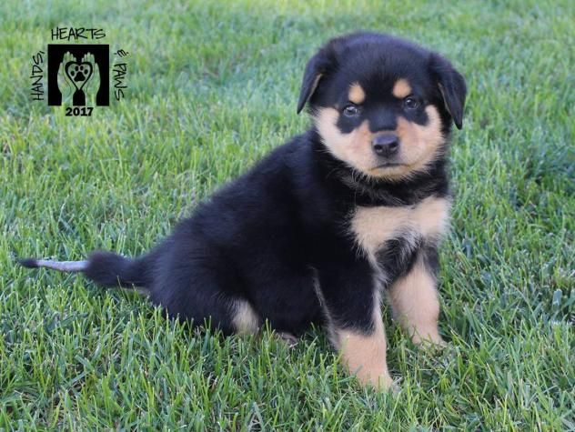 Adopt Ale Pending On Rottweiler Mix Dogs Rottweiler