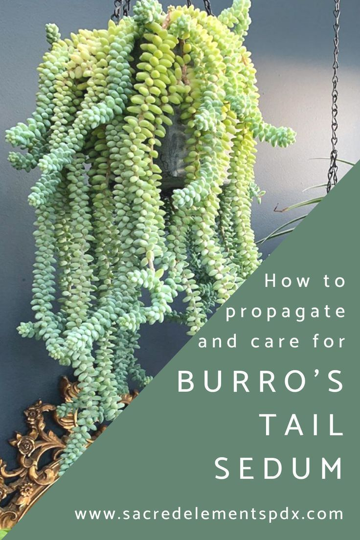 Photo of HOW TO: Propagate + Care for Burro's Tail Sedum — Sacred Elements – Modern Design – Modern