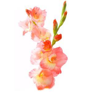August Birth Flower Gladiolus Inspiration