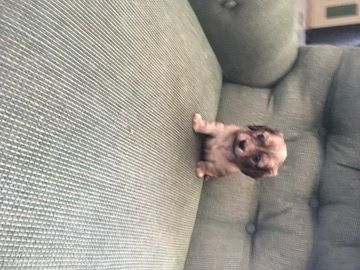 Litter Of 3 Dachshund Puppies For Sale In Decatur Al Adn 39064