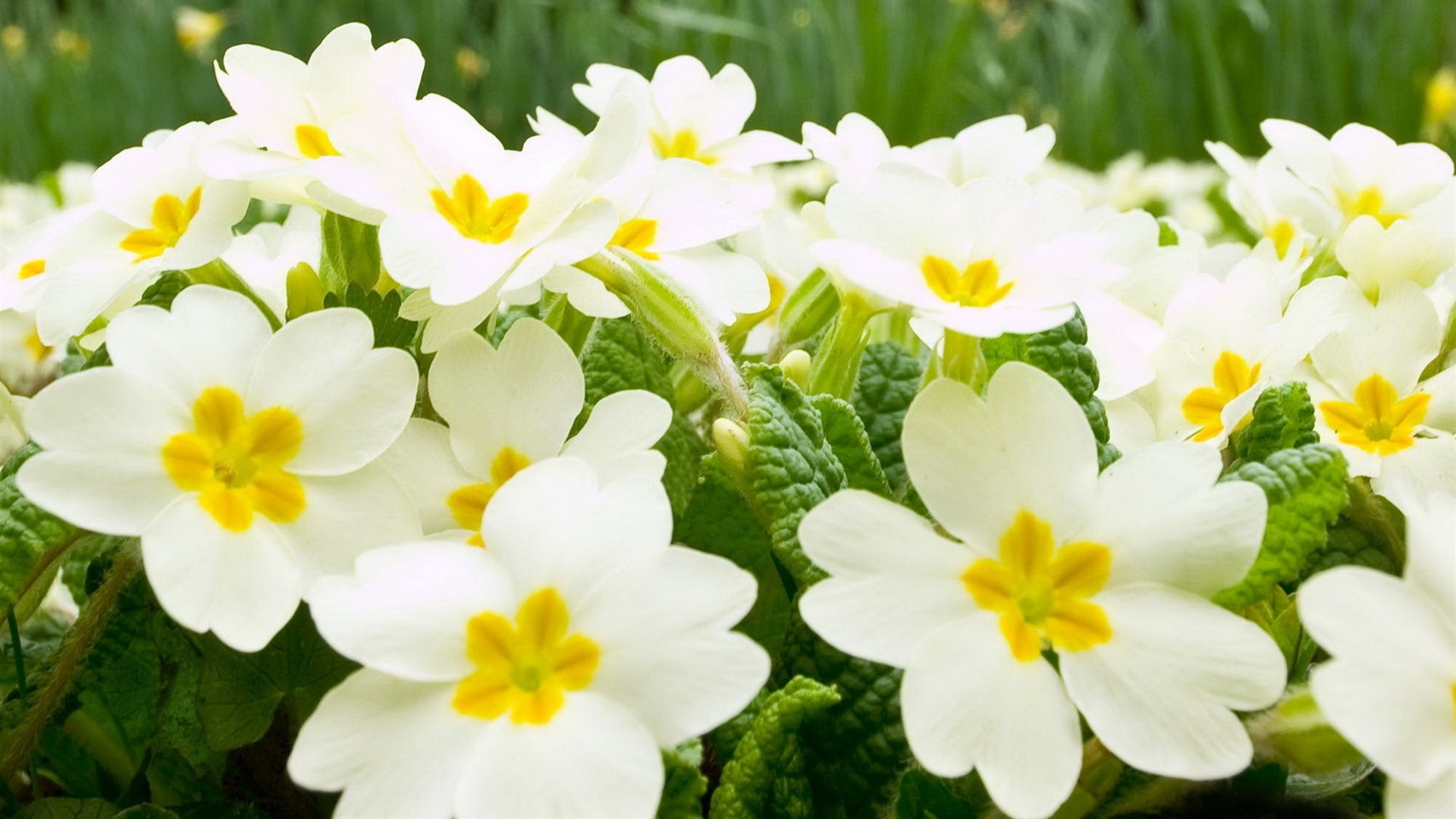 Garden Flowers Wallpaper beautiful white flower at garden, flowers wallpaper, hd phone
