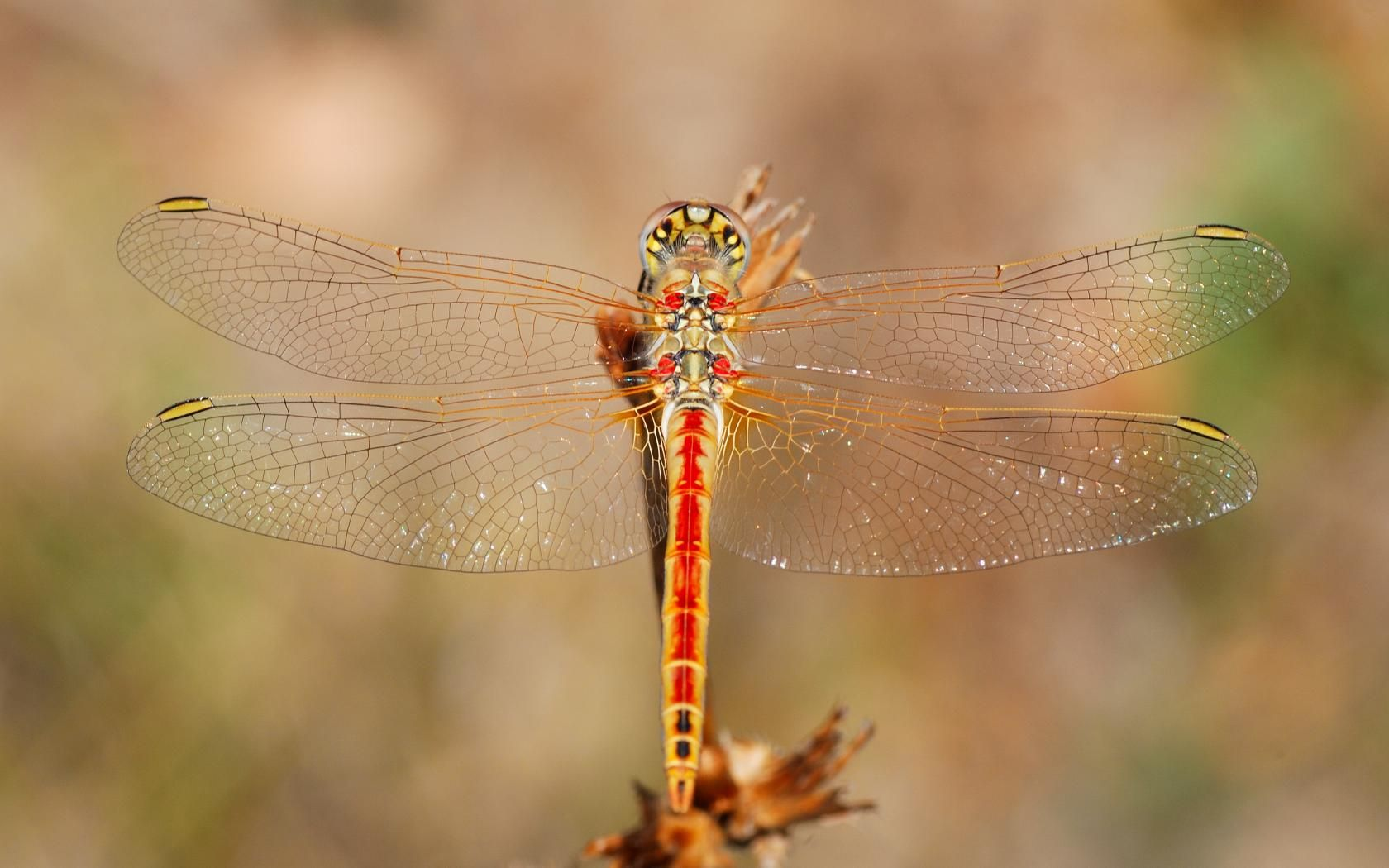 beautiful dragonflies Dragonfly, Pictures, Types of