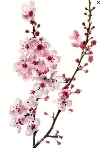 Mia Lin Adli Kullanicinin My Sleeve Dream Plan Panosundaki Pin Sanat Cicekler Suluboya Cicekler Sakura