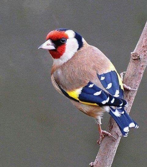 Euro. Goldfinch