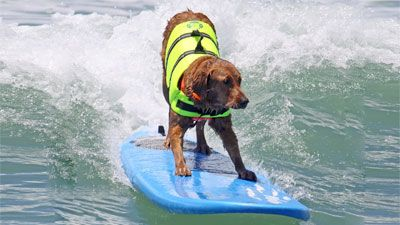 Ricochet was training to become a guide dog, but struggled to stay focused. Then her owner taught her how to surf and she joined Adaptive Surfing Foundation, a group that helps the disabled learn to surf no matter what the challenges are. Ricochet now helps fundraise for the organization and has helped countless children learn how to ride the waves.
