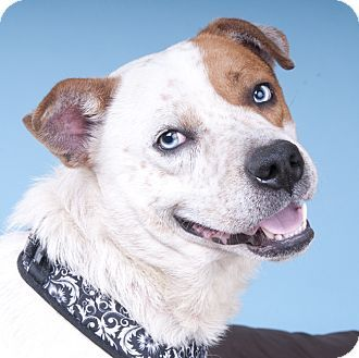 Chicago Il Cattle Dog Mix Meet Turbo Blue A Dog For Adoption