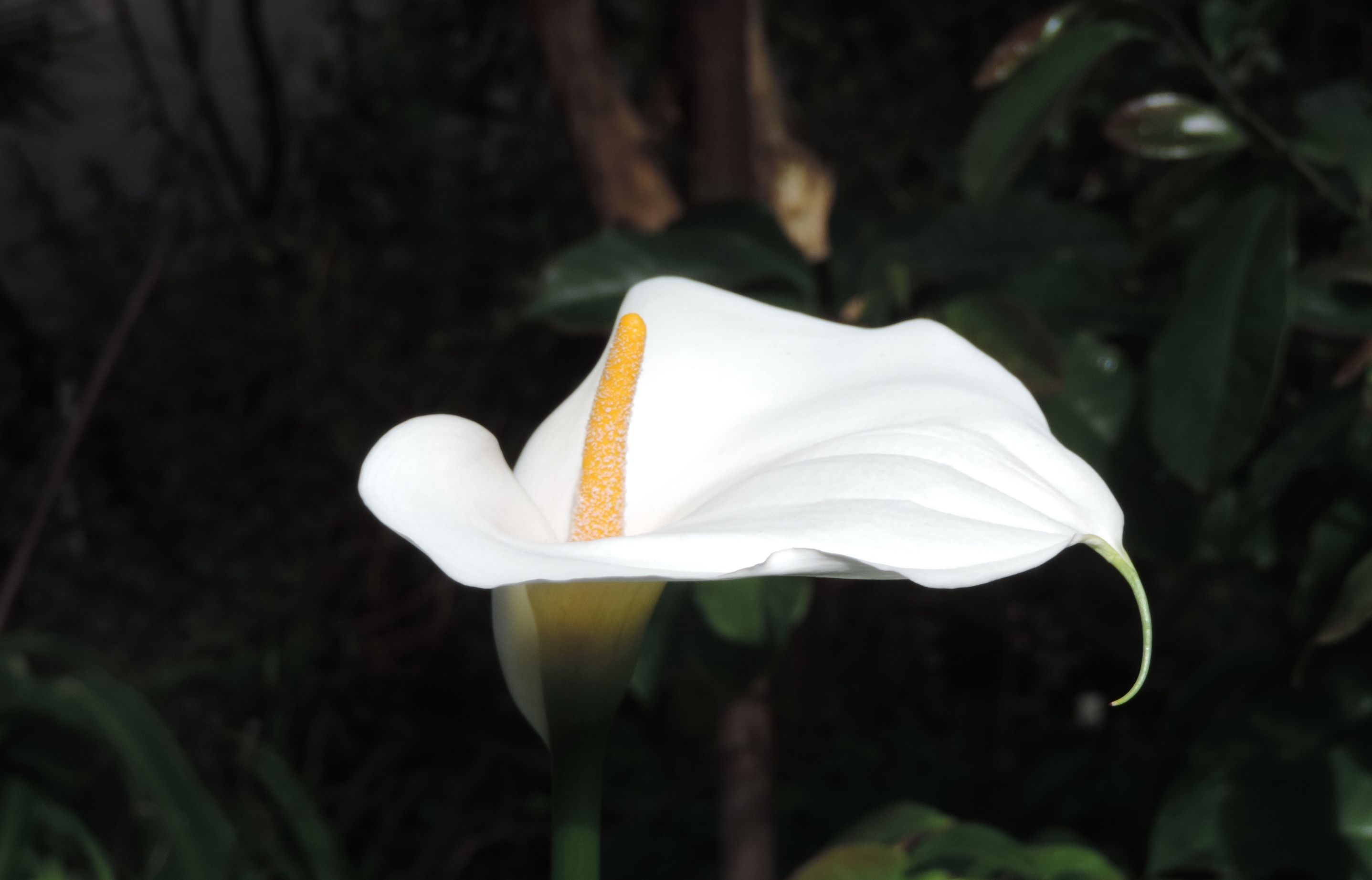 Peace Lily at Smith College