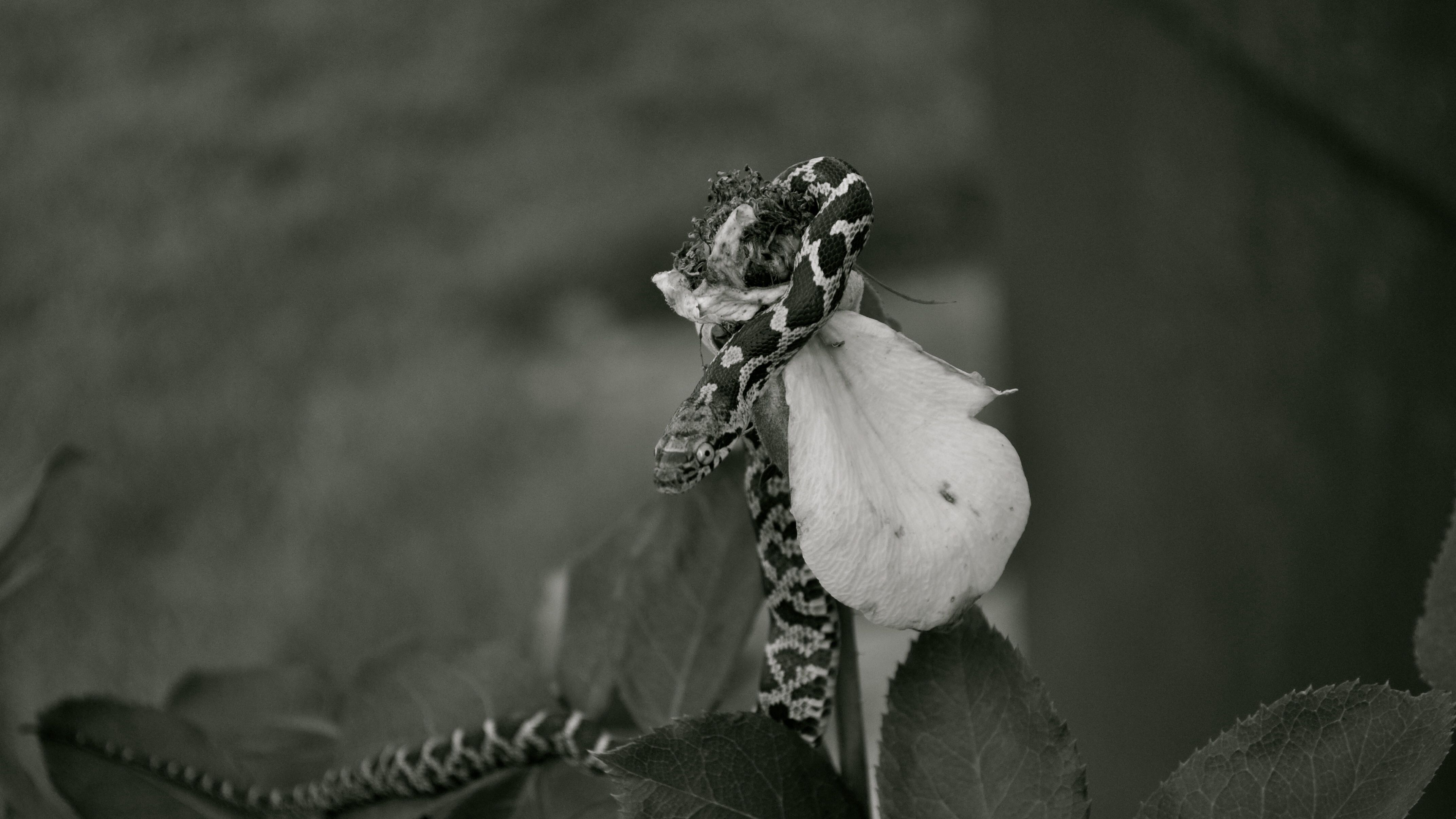 Snake on a rose petal