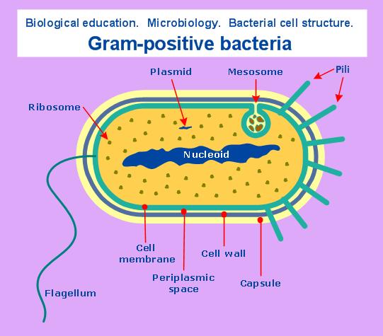 Microbiological diagram sample: Gram-positive bacteria. | Science ...