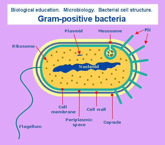 Bacteria Structure Diagram Spotlight Wiring 4 Pin Relay Microbiological Sample Gram Positive