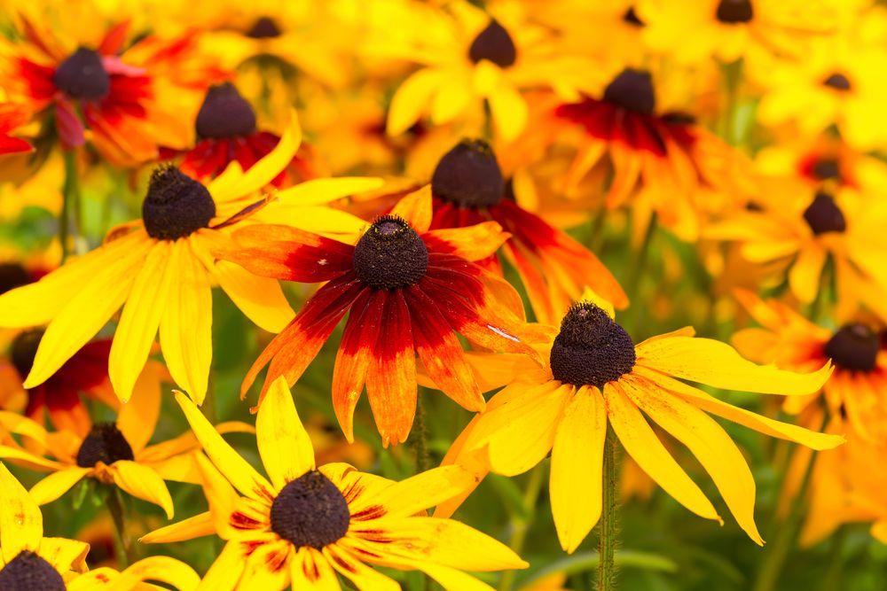 Rudbekia Co Warto Wiedziec Porady Leroy Merlin Perennial Plants Plants Perennials